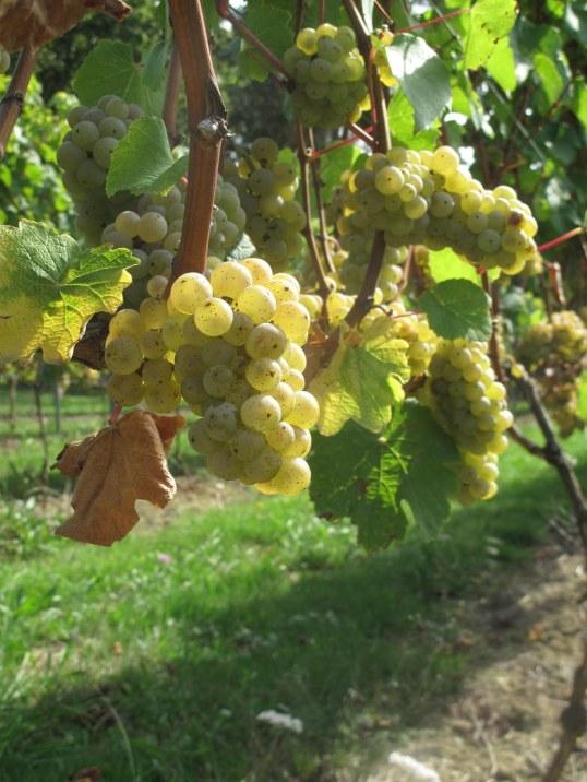 Así estaban las uvas de Itsasmendi hace un par de días